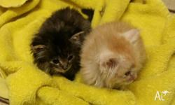 Kittens free to good home! Fluffy and cute!@!. 1 x