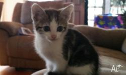 DSH kittens looking for new homes. 3 boys 1 girl. They