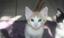 KITTENS MANX PUREBRED RED/WHITE MALES RUMPY, RISER AND