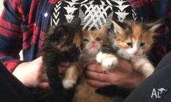 3 fluffy kittens :) Persian X . 1 x female