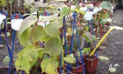 Kiwi Fruit male and female plants available at $15.00