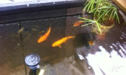 3 Koi fish, fit healthy orange and black appox 35cm $70