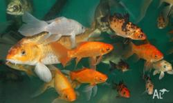 Koi / Goldfish for sale various sizes