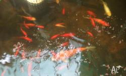 Hi I have got to many Koi or Gold Fish in my pond (Koi