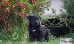Adorable Lab x Kelpie puppies for sale. All black with