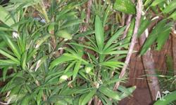 Lady Palm. AIR PURIFIER Rhapis excelsa, the Lady Palm,