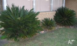 We have 3 large cycads for sale $20 per plant. One is