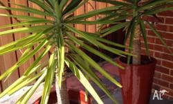 Established yuccas: plants each approx. 1.2m high, red