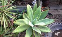 Large potted agave $30.00 ( decorative pot ) smaller