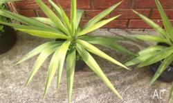 Large yucca plants in pot , very good size 3 yucca