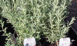 Lavander Many varieties available in 15cm pots. $5.00