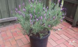 French Lavender Plant in pot in bloom. Cash only. Pick
