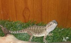 Healthy 1 yr old Lawsons dragon, with full set up,