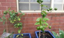 THIS SALE INCLUDES 2 MEYER LEMON TREES . Very well