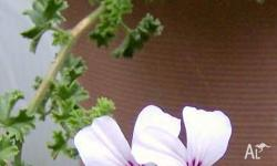 Lemon Scented Geranium is a strong upright grower with