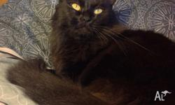 Leopold is a sweet natured lower energy gentle cat.