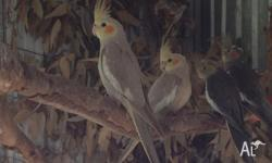 Two light grey aviary bred cockatiels for sale,