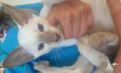 very beautiful Lilac point Siamese kitten, 10 weeks old