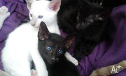 I have a lilac point male Siamese kitten available in 4