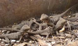 We have for sale baby Eastern Water Dragons, they are