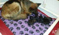 We now have another litter of Long Coat german Shepherd