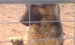 Female German shepherd, long haired, 1 year old,