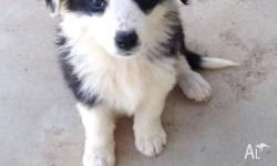 We have 7 long haired border collies puppies wormed and
