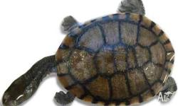 Long-Necked Turtles, 1-2 years of age. Suit larger