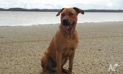 Mac is a beautiful 14 month old Ridgeback x Bull
