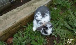 Lop cross male rabbit hes 4 months old very friendly