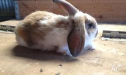 I have three georgous little bunnies for sale. These