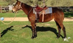Matilda - talented 9 y/o stock horse mare. 15hh by