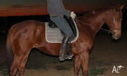 Valour is a 7yr old 15.3hh chestnut thoroughbred mare.
