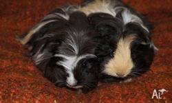"For sale ""Missy"" & ""Crunchie"" Missy is a tri colour"