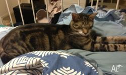 Zinc is a male Domestic Short Hair and is almost 2