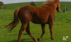 .This is a lovley Quarter horse mare she is 3 years
