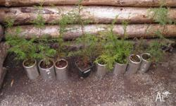 Macrocarpa seedlings $12 each or the lot (8) for$84