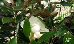 Magnolias are a showy, hardy plant with a wonderful