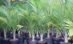 Majestic Palms available in 10 inch pots $20.00 Sertel