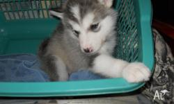 Male and Female Alaska Malamute puppies for sale