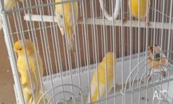 Male and Female Canaries available. Guaranteed last