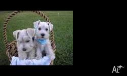 sweet and lovey schnauzer Puppies for adoption,We have