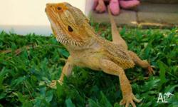 For Sale Yellow Phase bearded dragon male 2 1�2 yrs