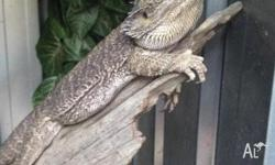 2 year old, Male yellow phrase bearded dragon Must have