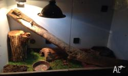 Male bearded dragon and enclosure for sale. dragon is