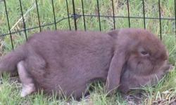 Gorgeous Choc Dwarf Lop Bunny, male. We are looking to