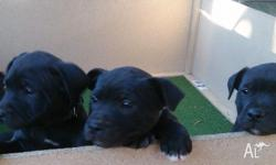 Three Male English Staffordshire Bull Terrier Puppies