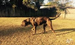 """Bruno"" Freeto Good Home 2 year old male Bull Mastiff x"