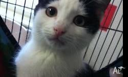 This little black and white male kitten is looking for