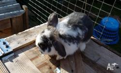 Male Lop cross rabbit Very friendly will make excellent